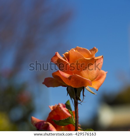 Spectacular perfumed   magnificent  beautiful orange  hybrid tea roses blooming in  late autumn  adds fragrant charm to the garden scape  with  their  lovely form and shape. - stock photo