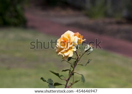 Spectacular perfumed   magnificent  beautiful  pale orange  hybrid tea roses blooming in  late autumn  adds fragrant charm to the garden scape  with  their  lovely form and shape. - stock photo
