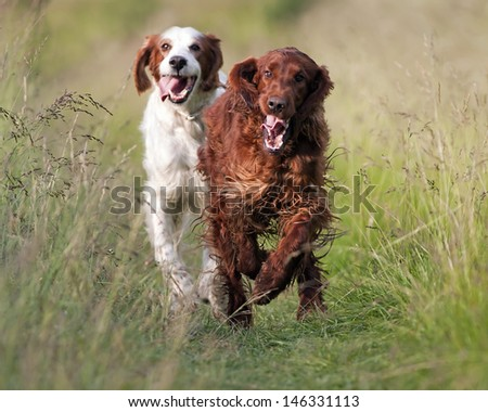 Speedy Irish Setters running in the field - stock photo