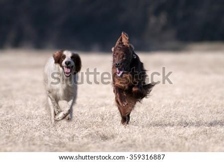 Speedy Irish Setters running to the camera  - stock photo