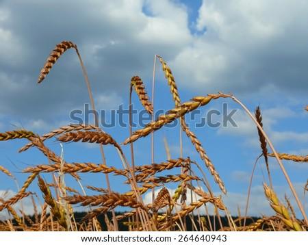 Spelt (Triticum spelta) - stock photo