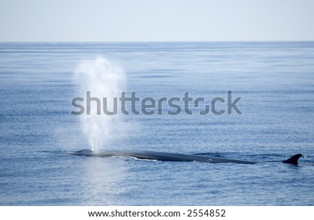 sperm whale blowing at sea - stock photo