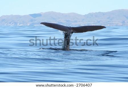 Sperm whale, New Zealand - stock photo