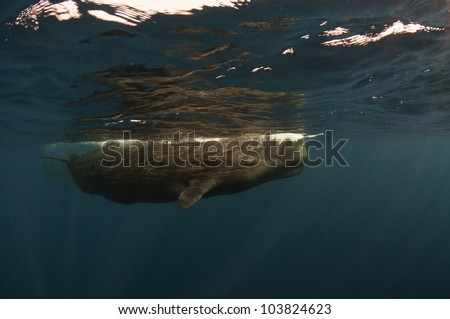 Sperm whale photo taken underwater - stock photo
