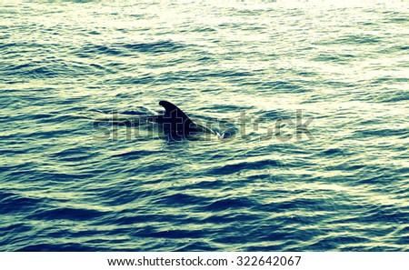 Sperm whale (Physeter Macrocephalus) in the Atlantic Ocean - stock photo