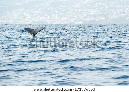 Sperm whale starts a deep dive in front of Madeira island - stock photo