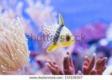 Sphaeramia nematoptera - colorful sea fish - stock photo