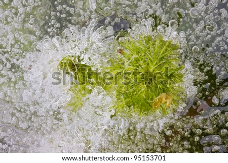 Sphagnum peat moss frozen in ice - stock photo