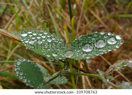 Spherical dew drops on a pair of leaves - stock photo