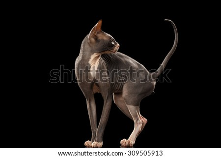 Sphynx Cat Funny Standing and Looking Back Isolated on Black Background - stock photo