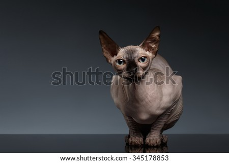 Sphynx Cat Sits in Front view on Black Background - stock photo