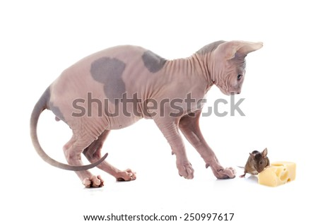 Sphynx Hairless Cat and mouse in front of white background - stock photo