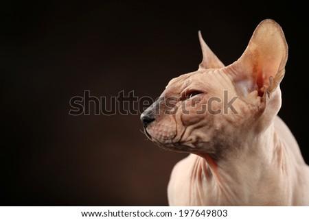 Sphynx hairless cat on dark background - stock photo