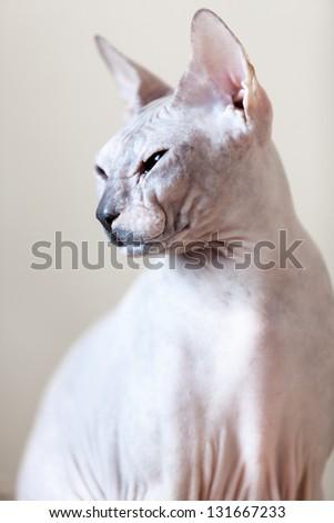 Sphynx hairless cat portrait - stock photo