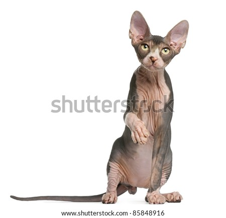 Sphynx kitten, 4 months old, sitting in front of white background - stock photo