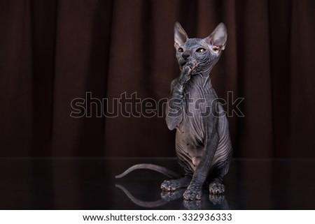Sphynx kitten portrait on a color background - stock photo