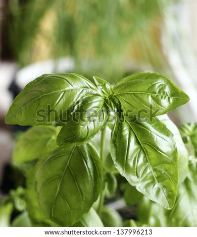 Spices on the window sill, close up of basil plant green leaves - stock photo