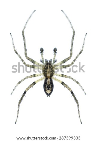 Spider Anyphaena accentuata (male) on a white background - stock photo