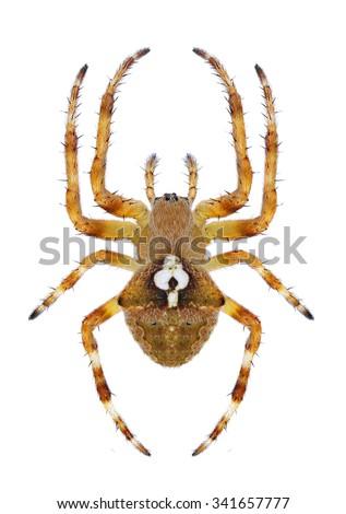 Spider Araneus angulatus (female) on a white background - stock photo