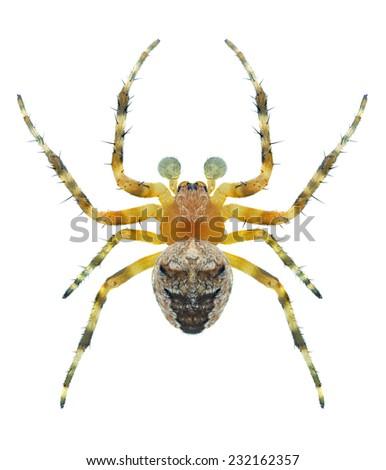 Spider Araneus angulatus (male) on a white background - stock photo
