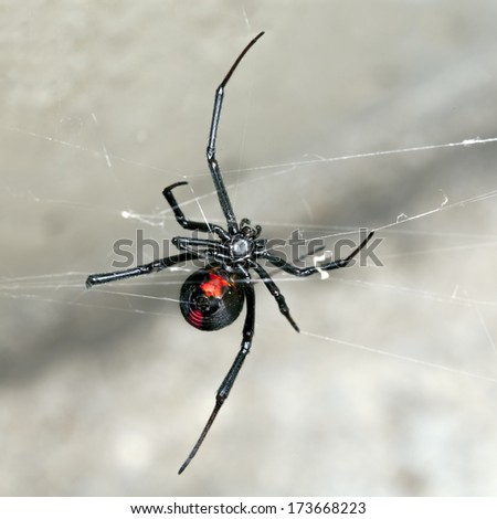 Spider, Australian Red-back,  female spider at rest on web in sandstone crevice - stock photo