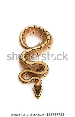 Spider Ball Python (Python regius) isolated on white background. - stock photo