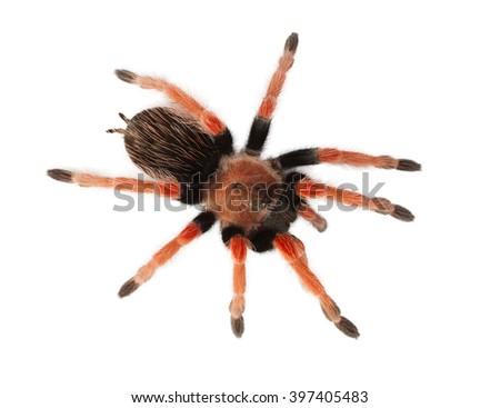 Spider Brachypelma boehmei isolated on white - stock photo