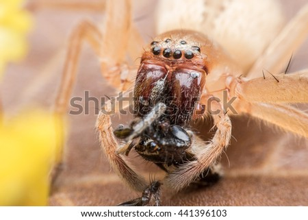 Spider eating Jumping spider - stock photo
