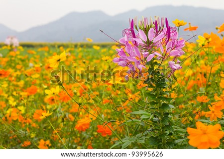 Spider flower. Pink spider flower among cosmos flowers. - stock photo