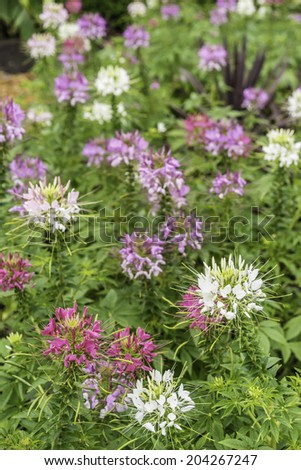 Spider flowers (binomial name: Cleome hassleriana 'Sparkler Mix'), native to South America, in a summer garden, July in northern Illinois (foreground focus) - stock photo
