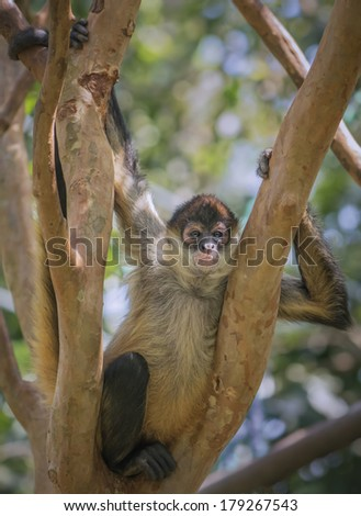 Spider monkey photographed in a forest in Costa Rica. - stock photo