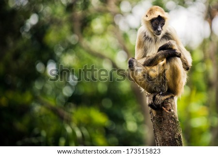 Spider Monkey sitting and staring - stock photo