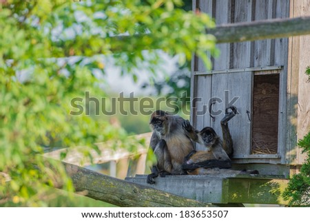 Spider monkeys chilling out on a bright summer afternoon - stock photo