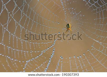 Spider on spiderweb - stock photo