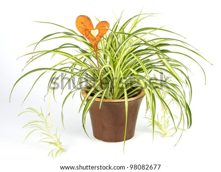 Spider plant in a brown pot with a decoration heart over a white background - stock photo