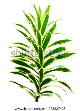 Spider plant on white background - stock photo