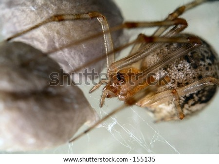 Spider protecting her egg-sack - stock photo
