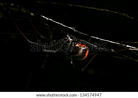 Spider, Red-back, Lacrodectus Hasselti, female Australian spider hunting at night - stock photo