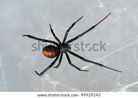 Spider, Redback or Black Widow, Latrodectus hasselti, female at rest on web - stock photo