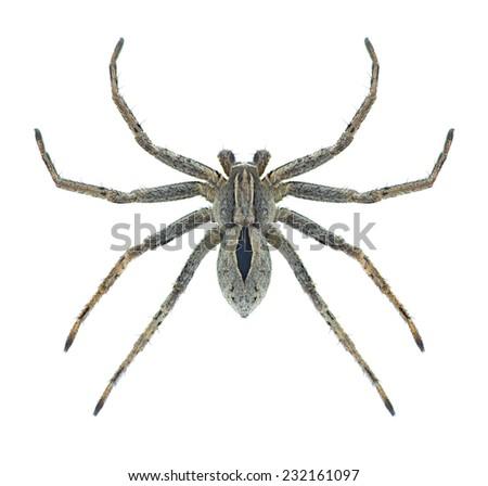 Spider Thanatus formicinus on a white background - stock photo