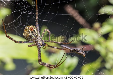 Spider wrapping a cricket and will to eat it - focus on cricket and soft focus - stock photo