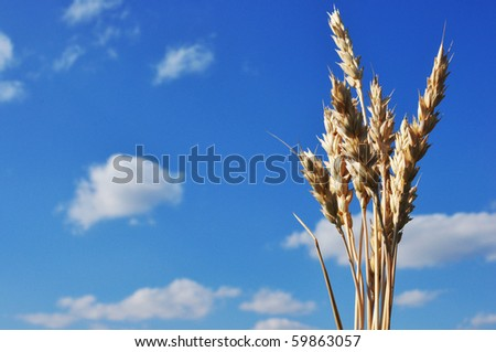 spike wheat in the blue sky background - stock photo