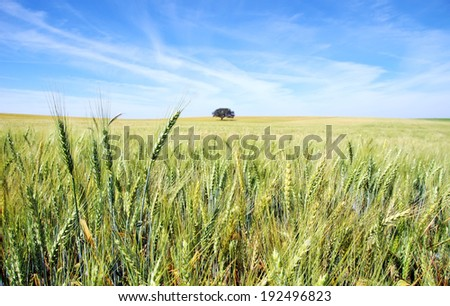 Spikes of wheat field at Portugal.  - stock photo