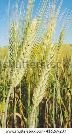 spikes ofwheat on field - stock photo