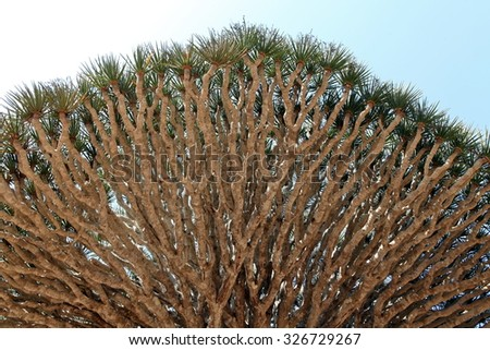 Spiky leaves of Dragon tree - Dracaena cinnabari - Dragon's blood - endemic tree from Soqotra, Yemen - stock photo