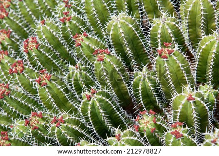 Spiky portrait of Euphorbia Echinus succulent plant - it looks like cactus, but it is not part of the cactus family. Location: Lanzarote, Canary islands, Spain - stock photo