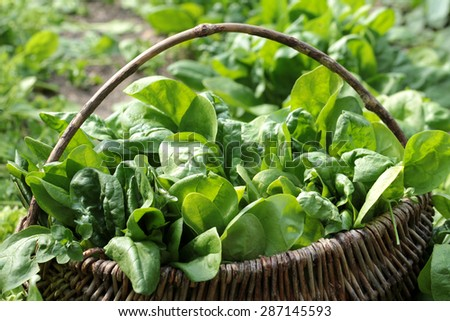 Spinach basket - stock photo