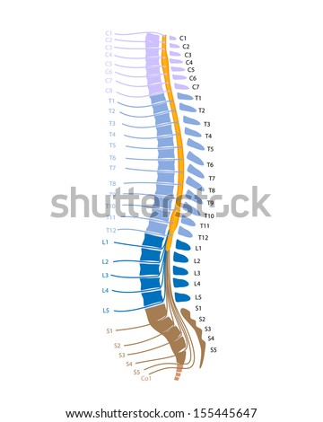 Spinal cord and spinal nerves - stock photo