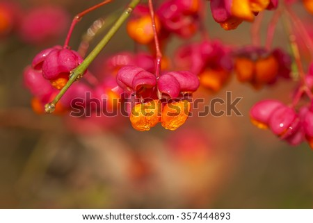 spindle bush - seeds - water drops - stock photo