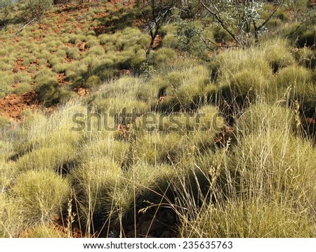 Spinifex grass in the Watarrka national park in Australia - stock photo
